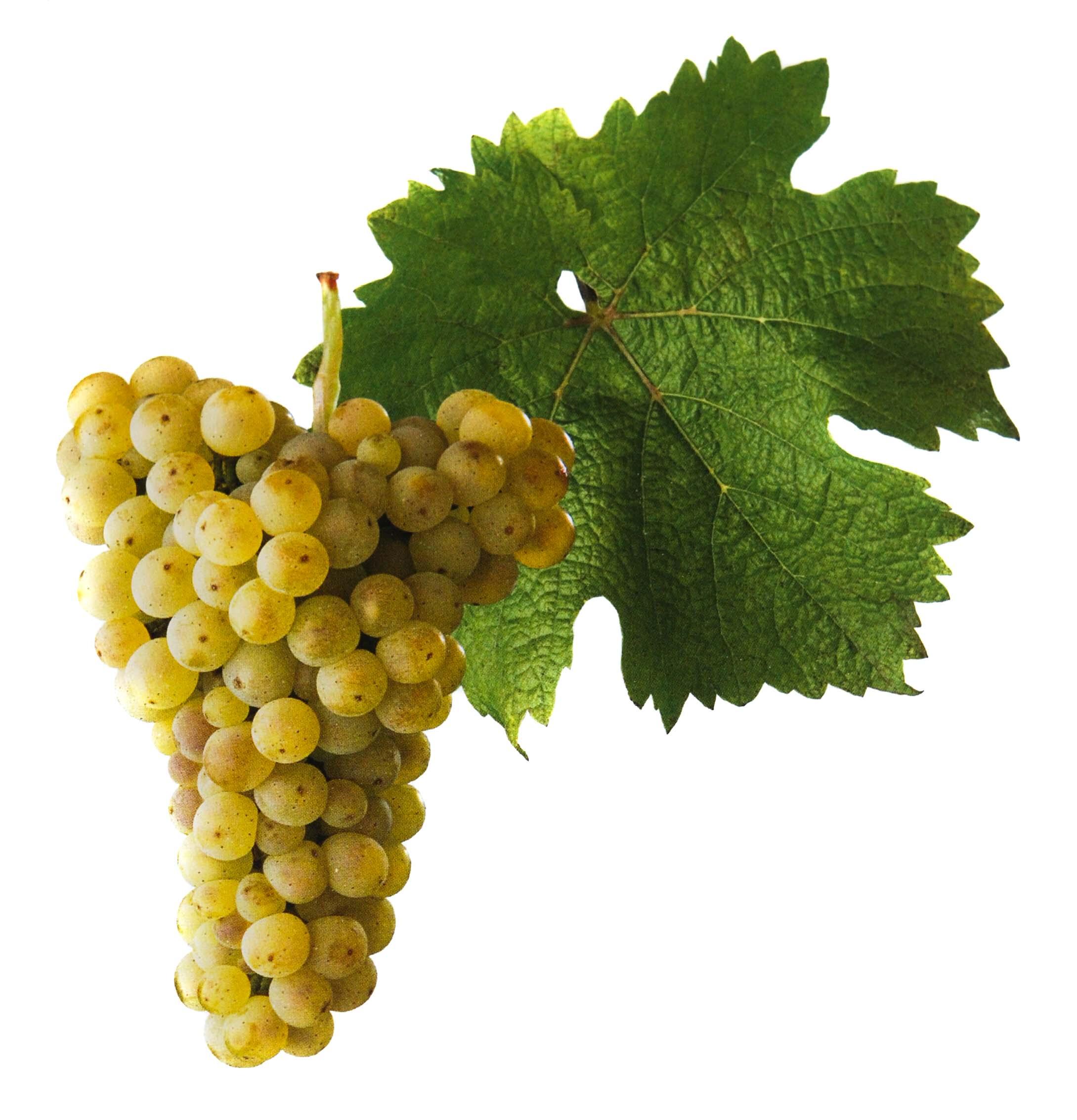 Ryzlink ýnský víno hrozen a list