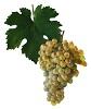Víno Veltlínské zelené - hrozen