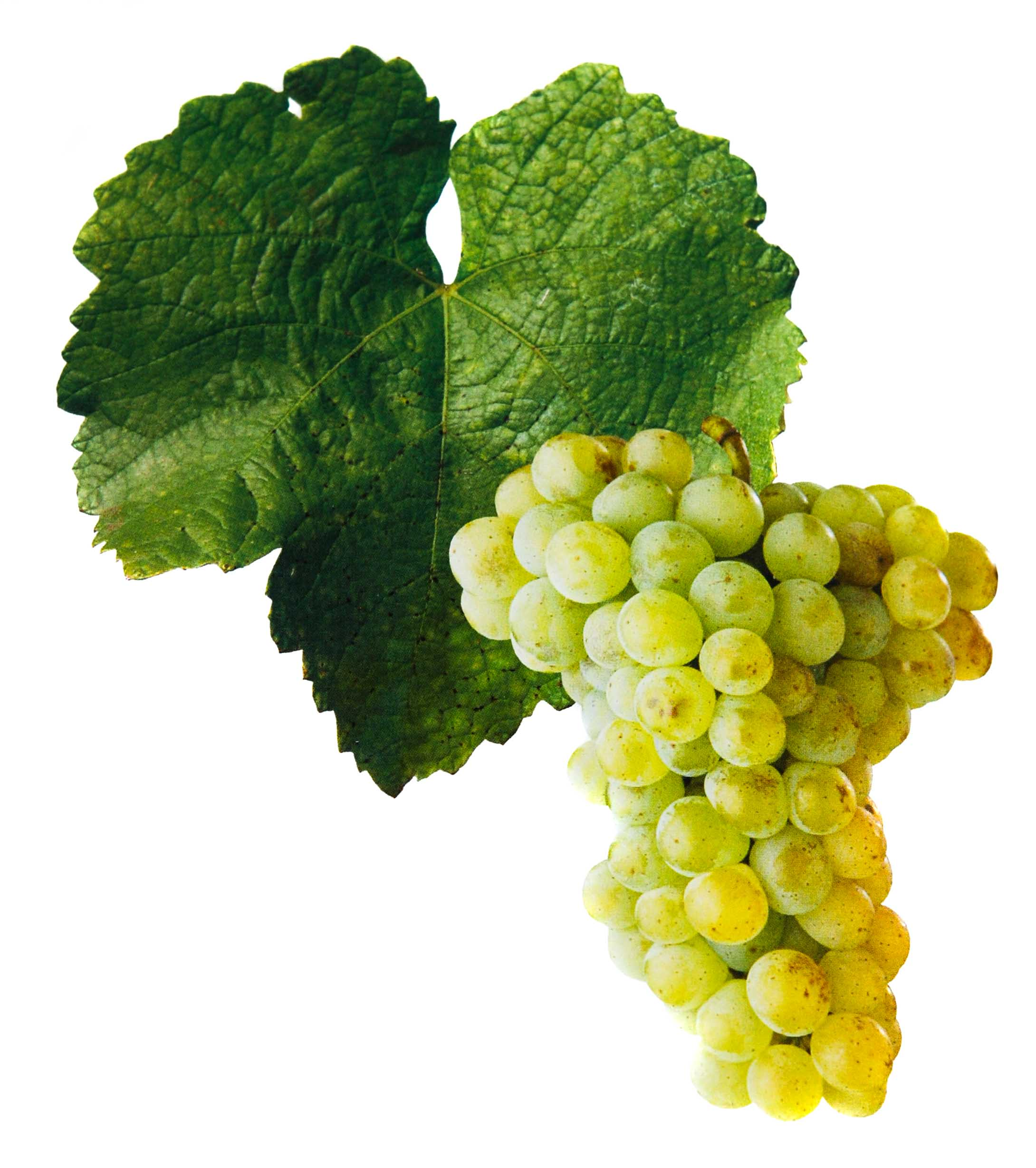 Sylvánské zelené víno hrozen a list