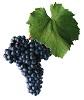 Víno Frankovka - hrozen