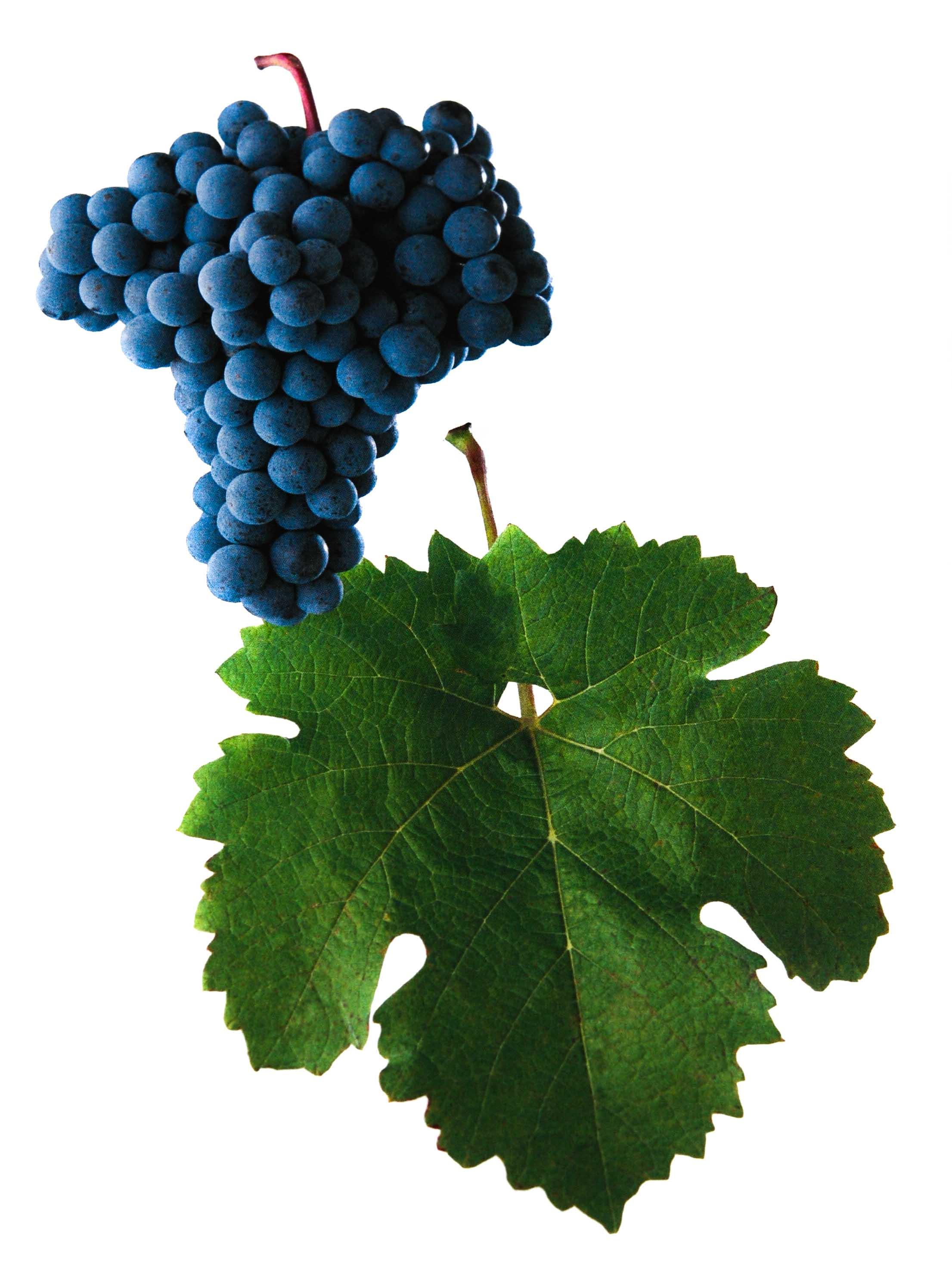 Cabernet Moravia víno hrozen a list