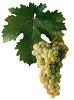Víno Sauvignon - hrozen