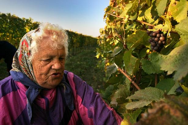 Vinné sklepy Lechovice babička pomáhá sbírat hrozny