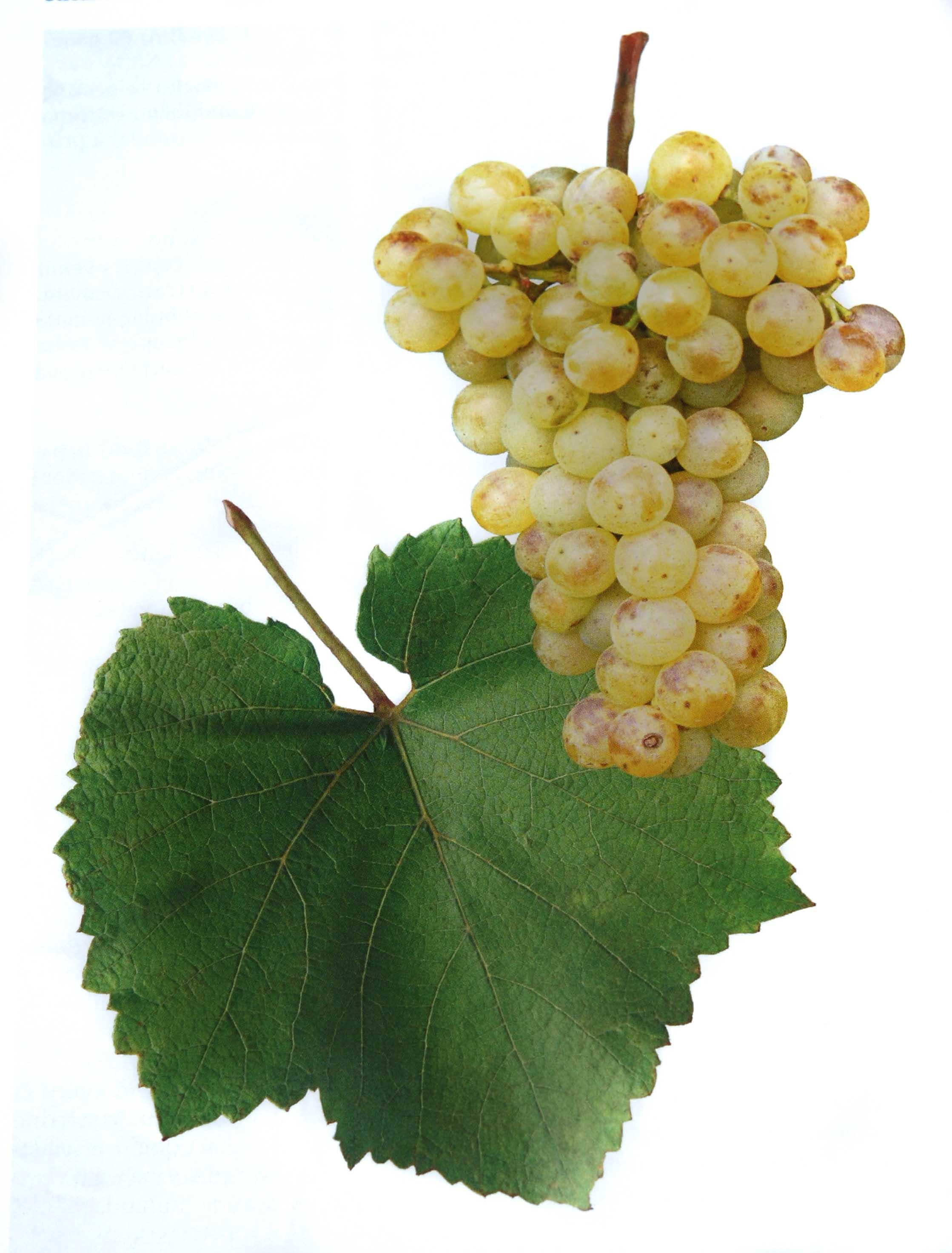 Chardonnay víno hrozen a list