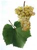 Víno Chardonnay - hrozen