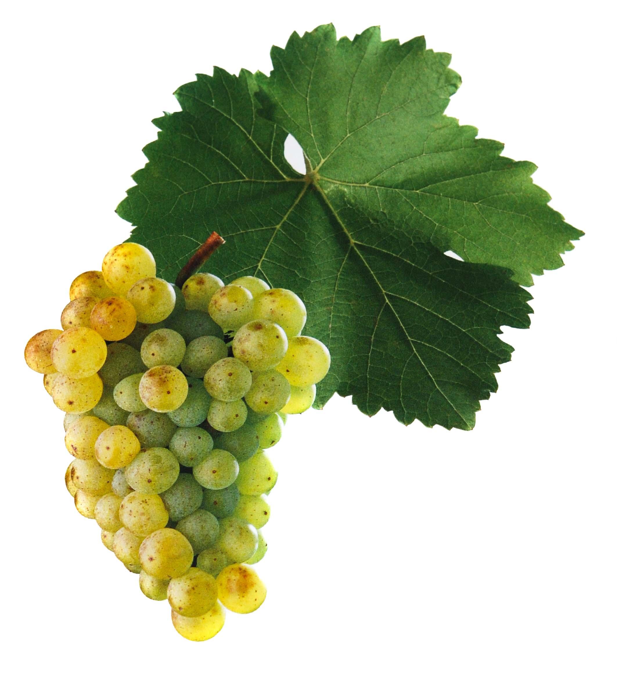 Neuburské víno hrozen a list