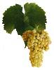 Víno Rulandské bílé - hrozen