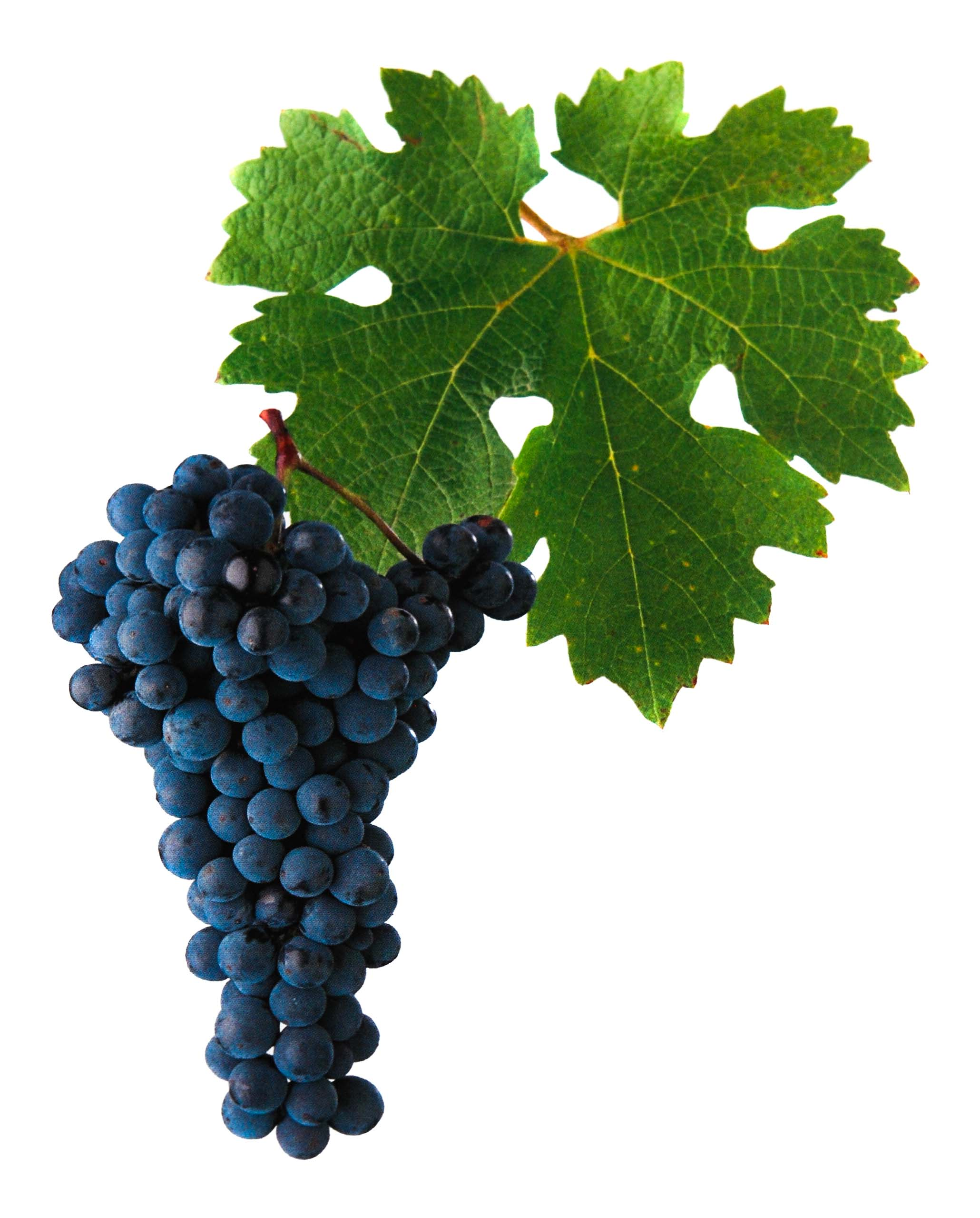 Cabernet Sauvignon rosé víno hrozen a list