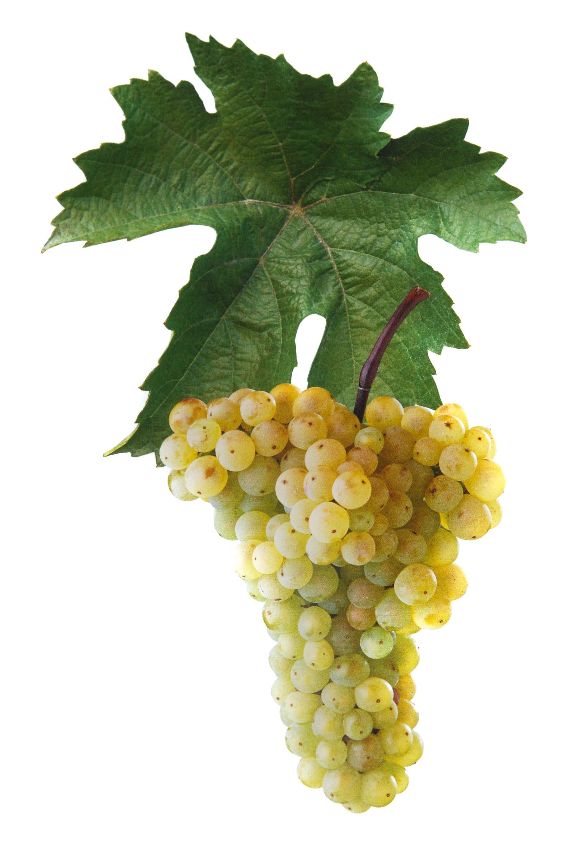 Aurelius víno hrozen a list