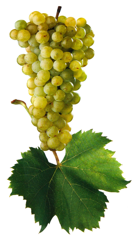 Muškát moravský víno hrozen a list