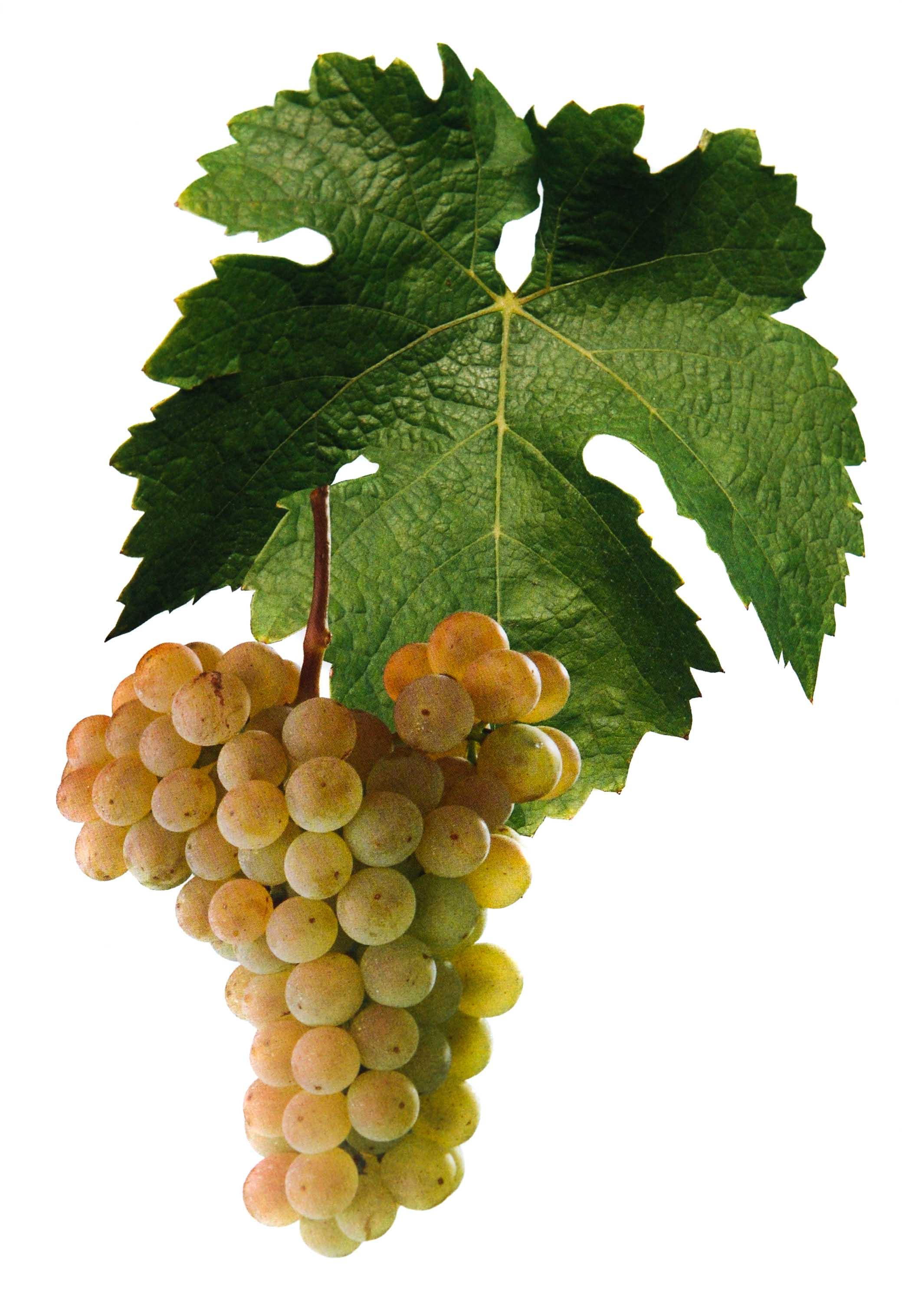 Kerner víno hrozen a list