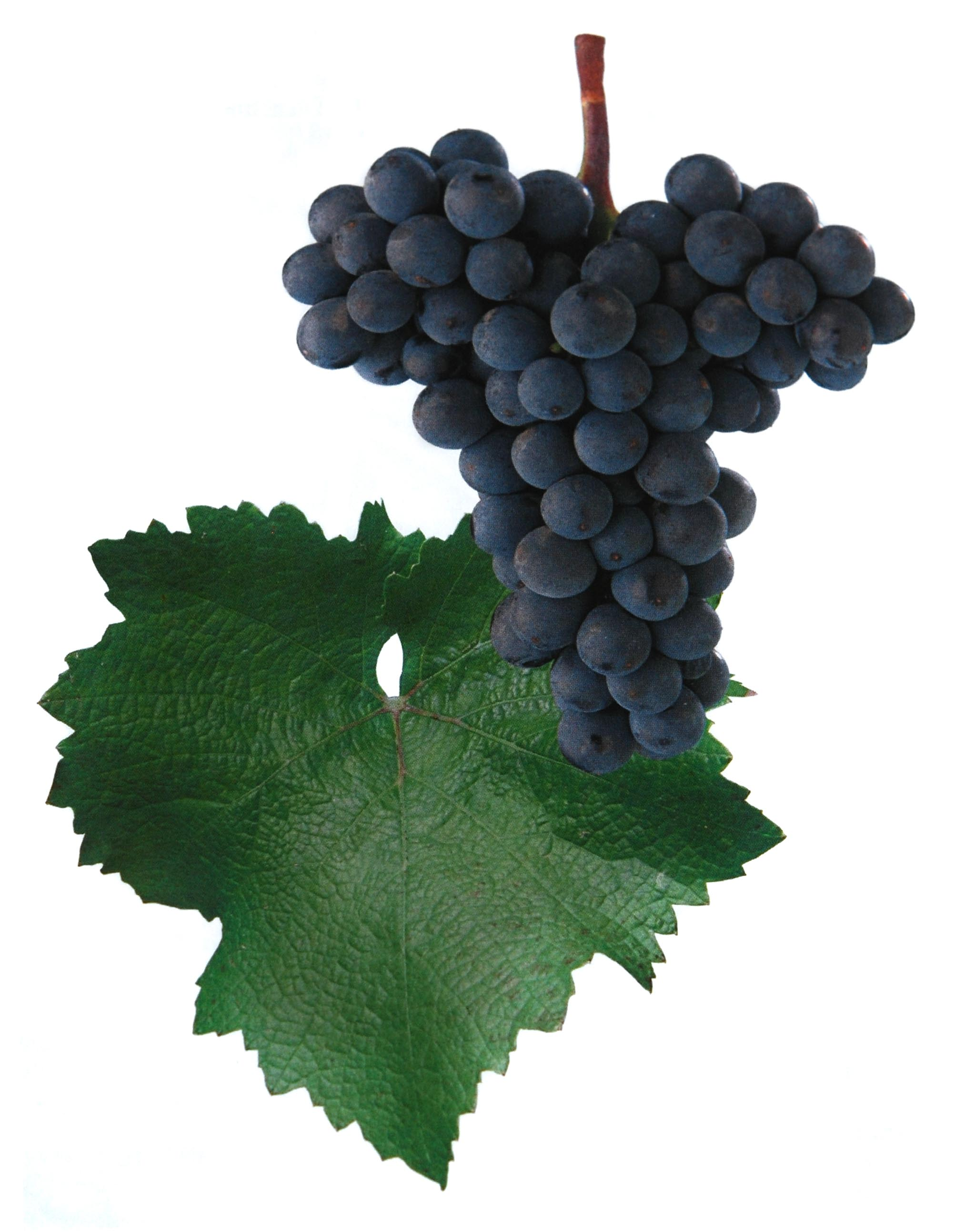 Svatovavřinecké rosé víno hrozen a list