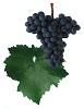 Svatovavřinecké červené víno - hrozen