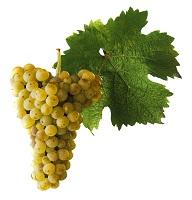 Ryzlink rýnský víno hrozen a list
