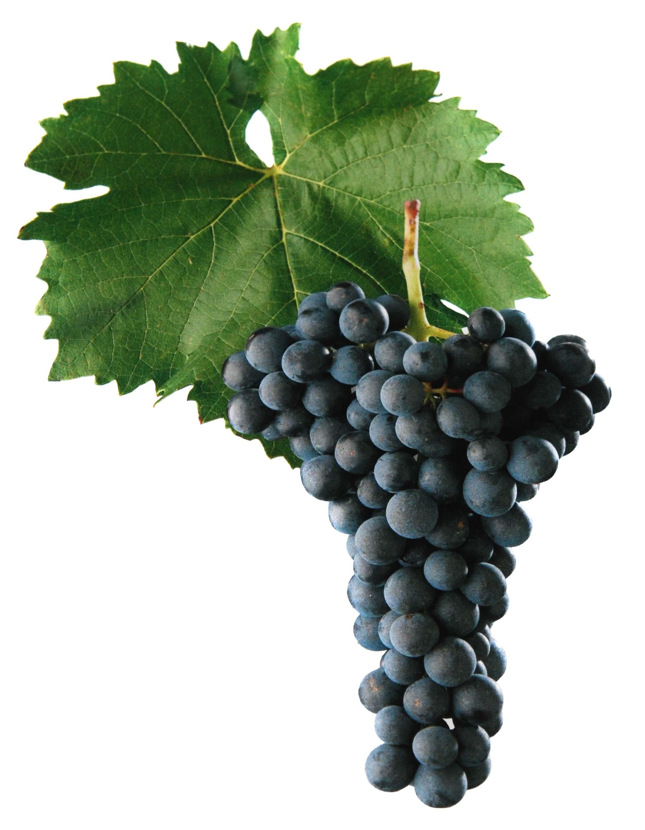 Modrý Portugal víno hrozen a list