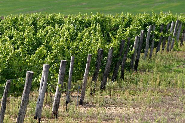 Vinné sklepy Lechovice vinice