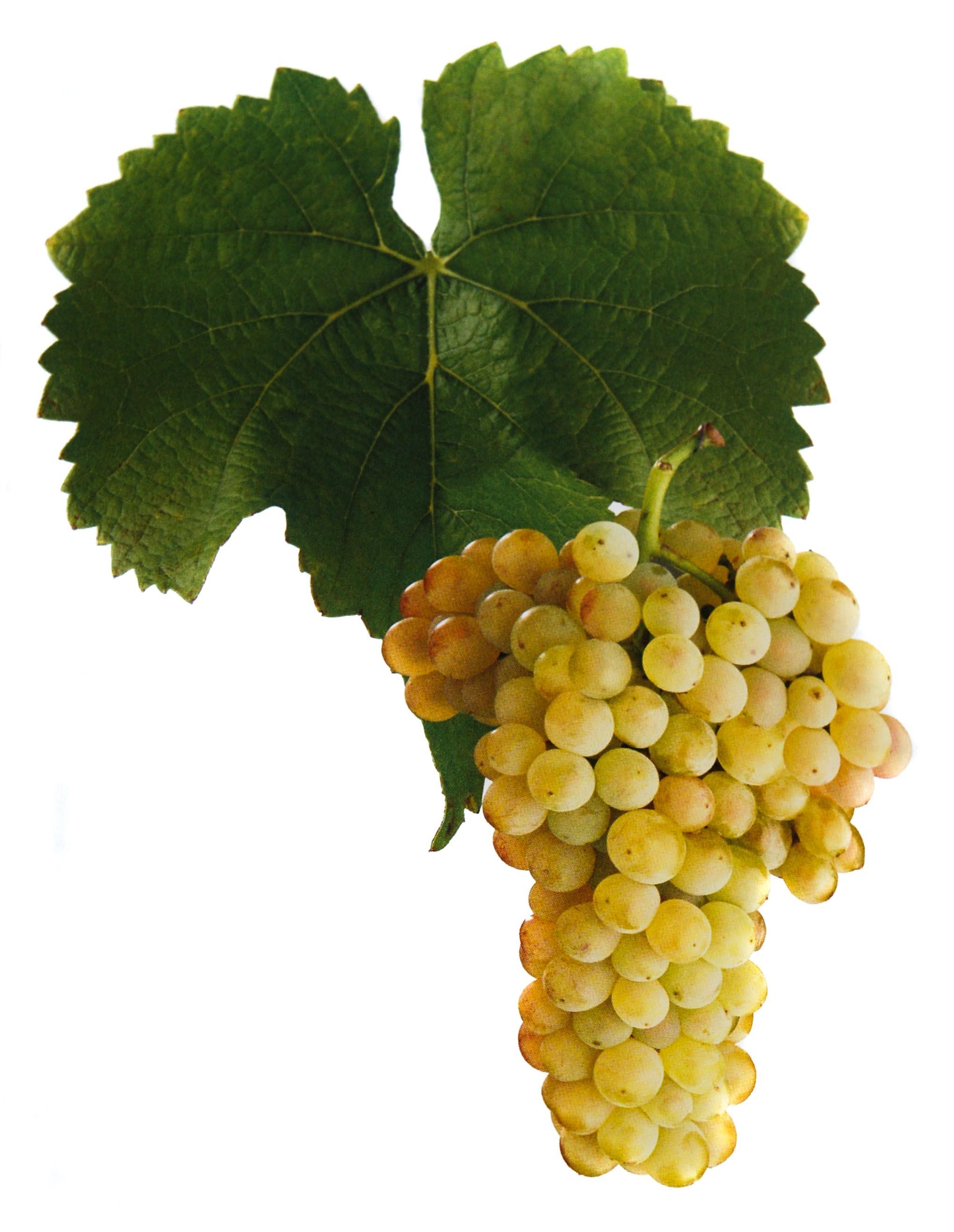Rulandské bílé víno hrozen a list