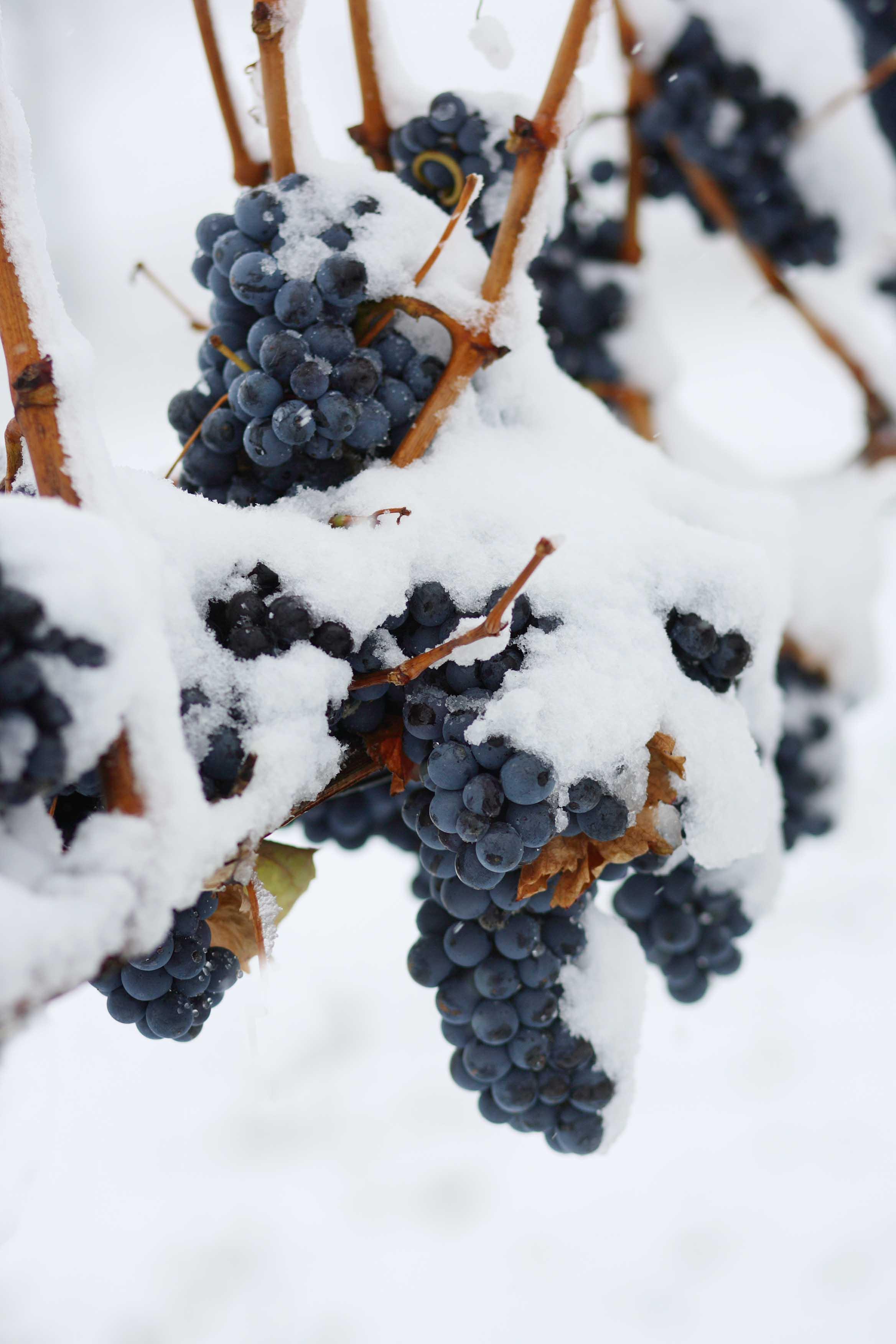 Vinné sklepy Lechovice ledové hrozny