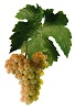 Víno Kerner - hrozen