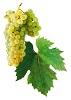 Víno Vlašský Ryzlink - hrozen