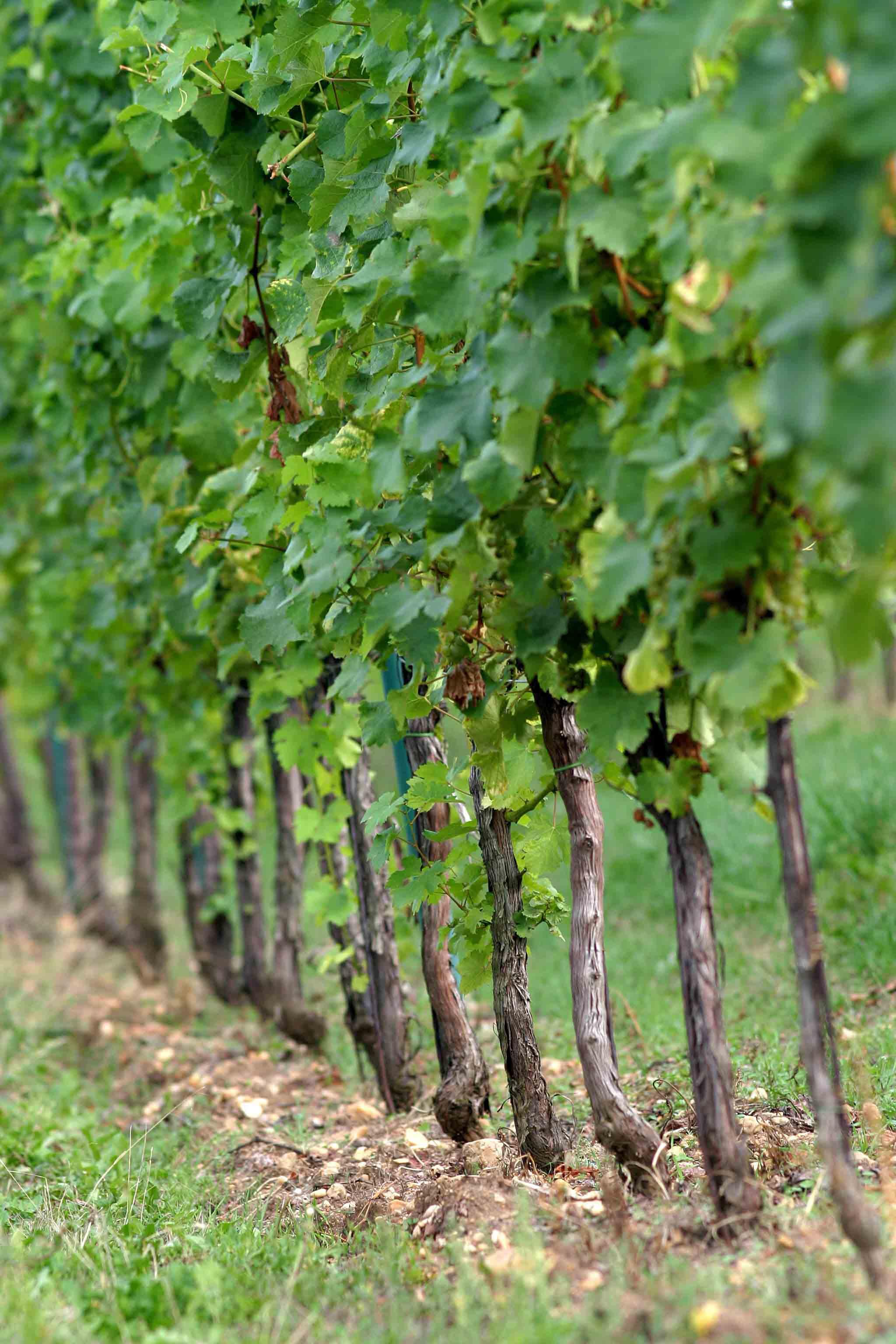 Vinné sklepy Lechovice hlavy révy vinné