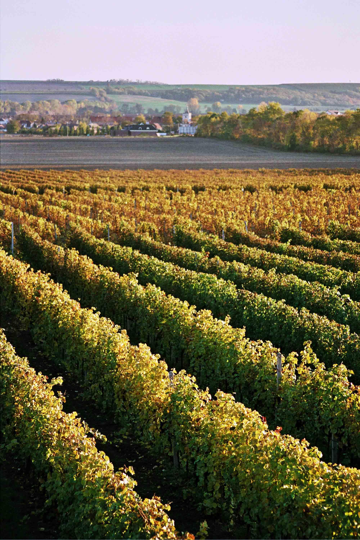Ampelos vinice a