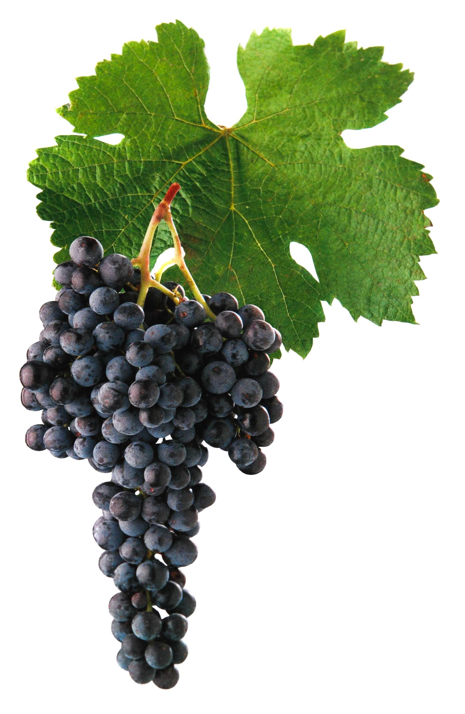 Merlot víno hrozen a list