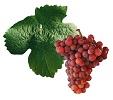 Víno Tramín červený - hrozen