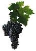 Víno Dornfelder - hrozen a list vinné révy