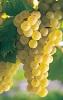 Víno Rotgipfler - hrozen