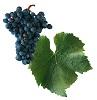 Rulandské modré víno - hrozen