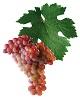 Víno Veltlínské červené ranné - hrozen