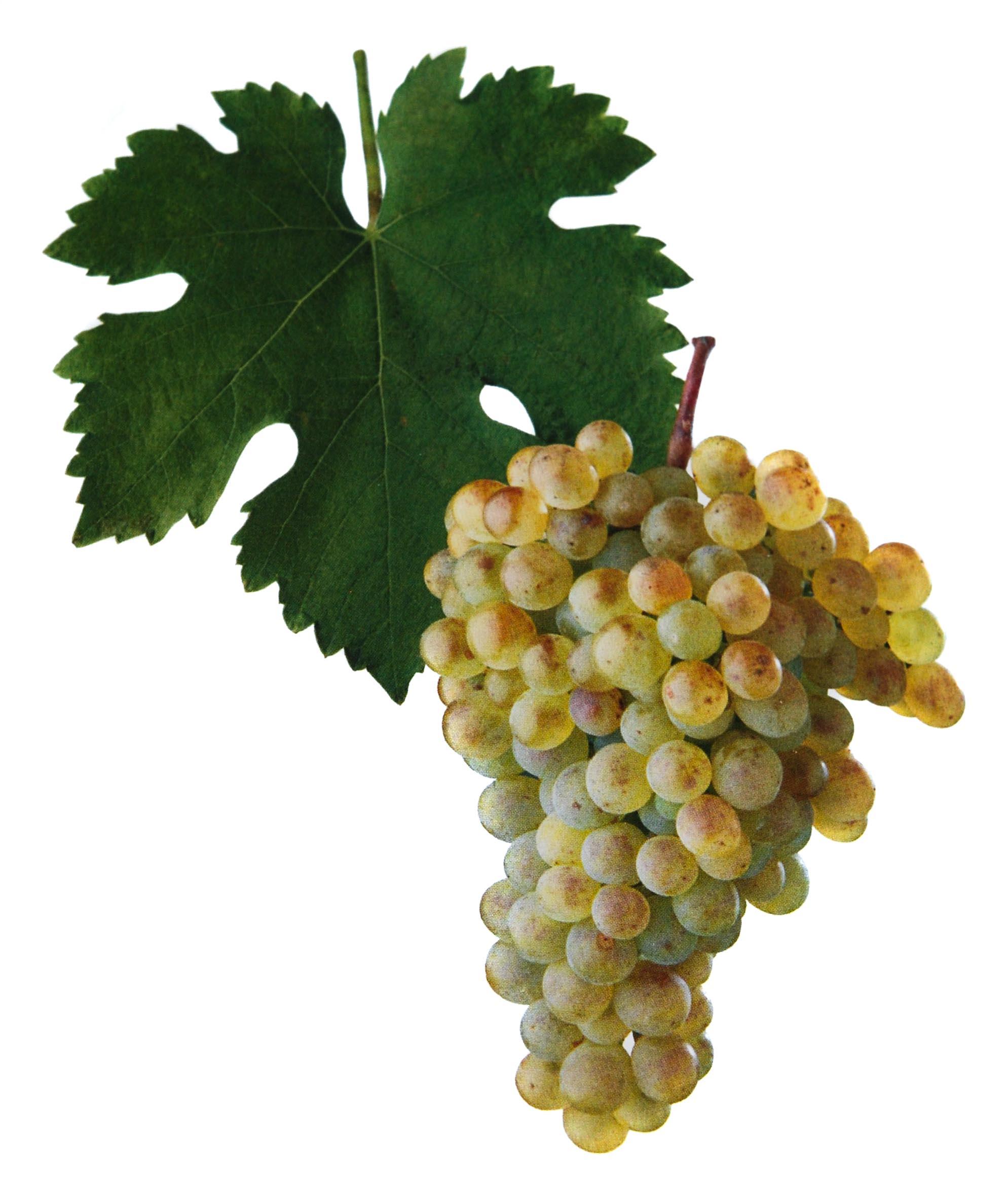 Veltlínské zelené víno hrozen a list