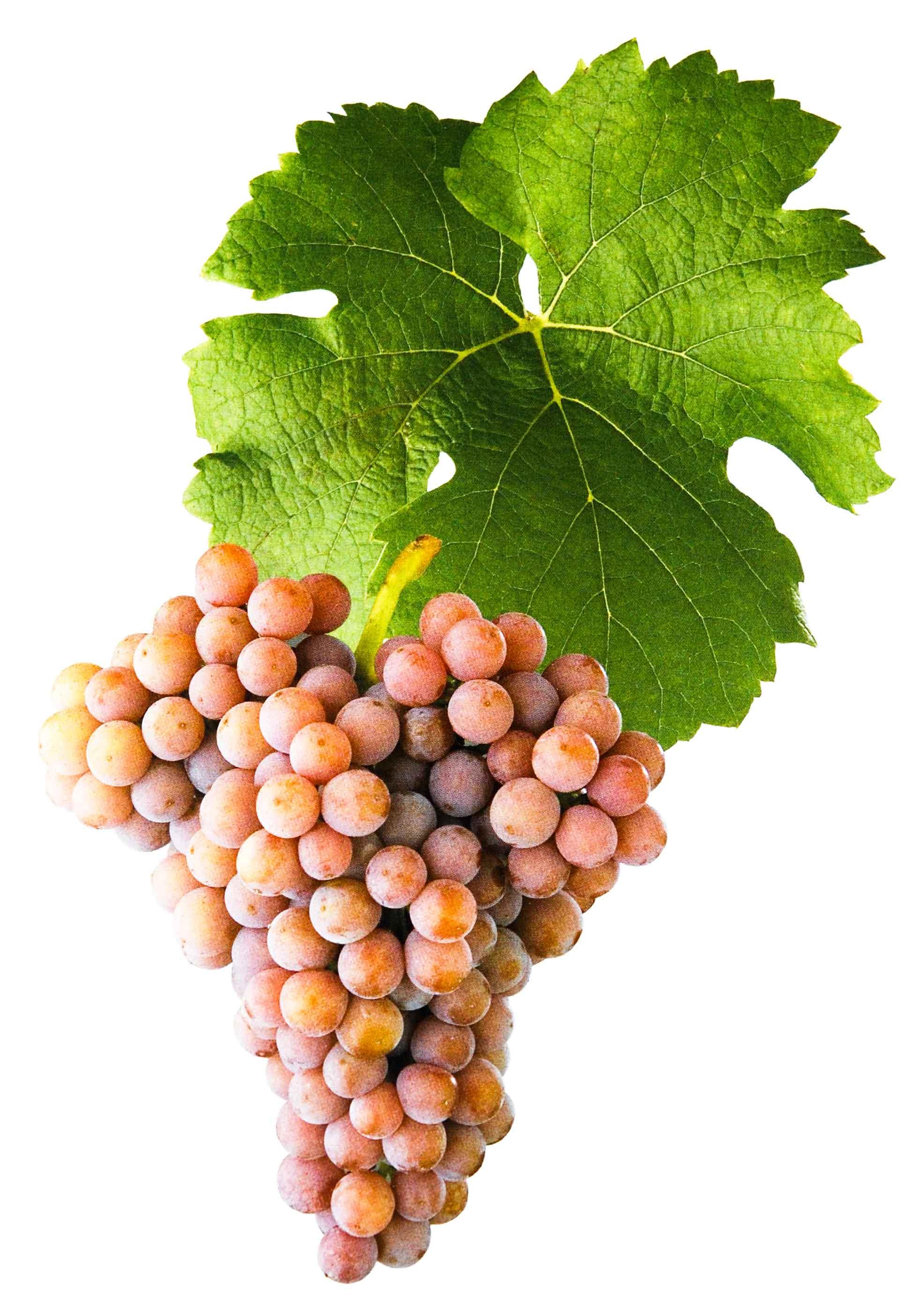 Pálava víno réva list a hrozen
