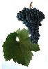 Zweigeltrebe červené víno - hrozen