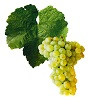 Víno Sylvánské zelené - hrozen