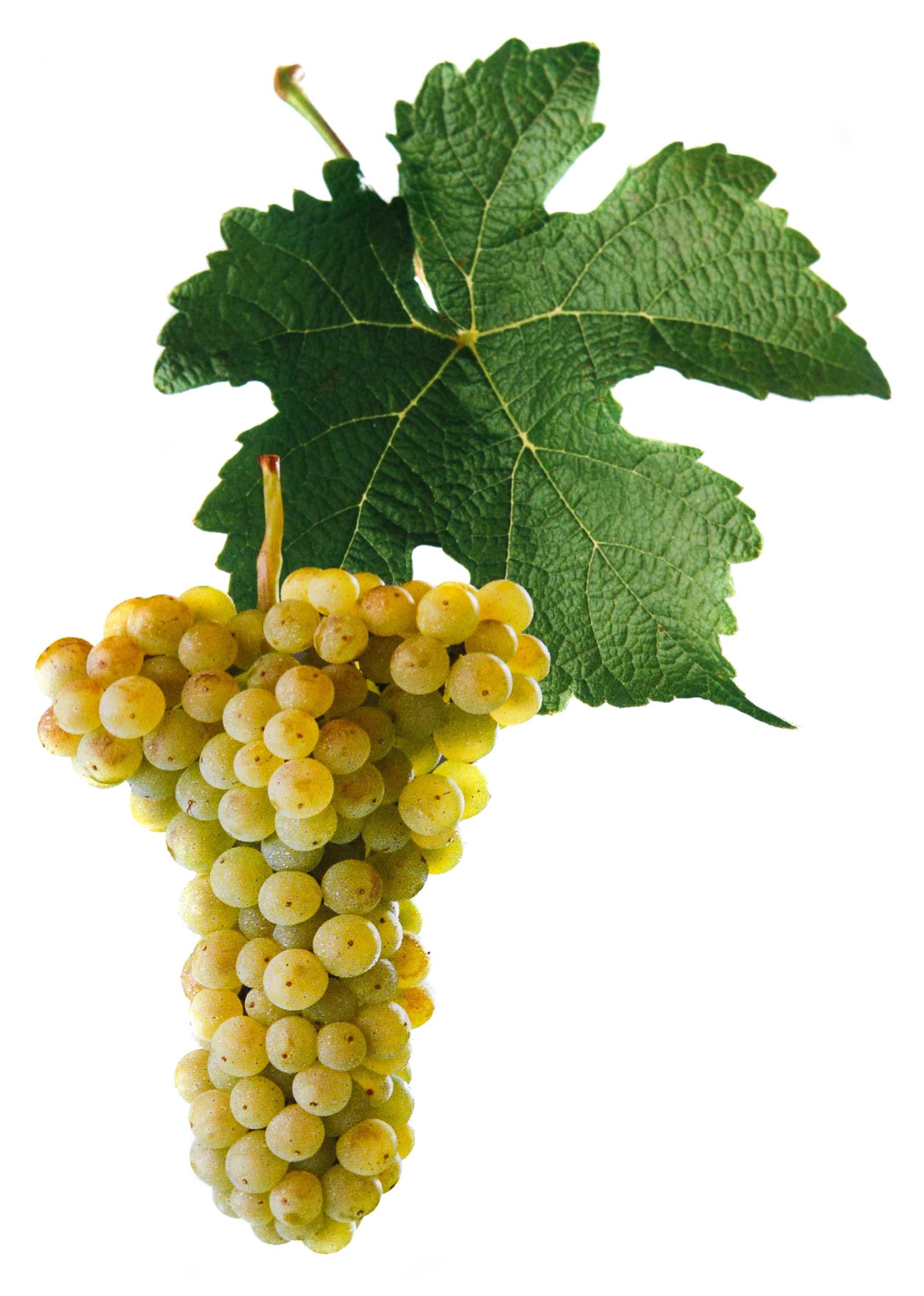 Veritas víno hrozen a list