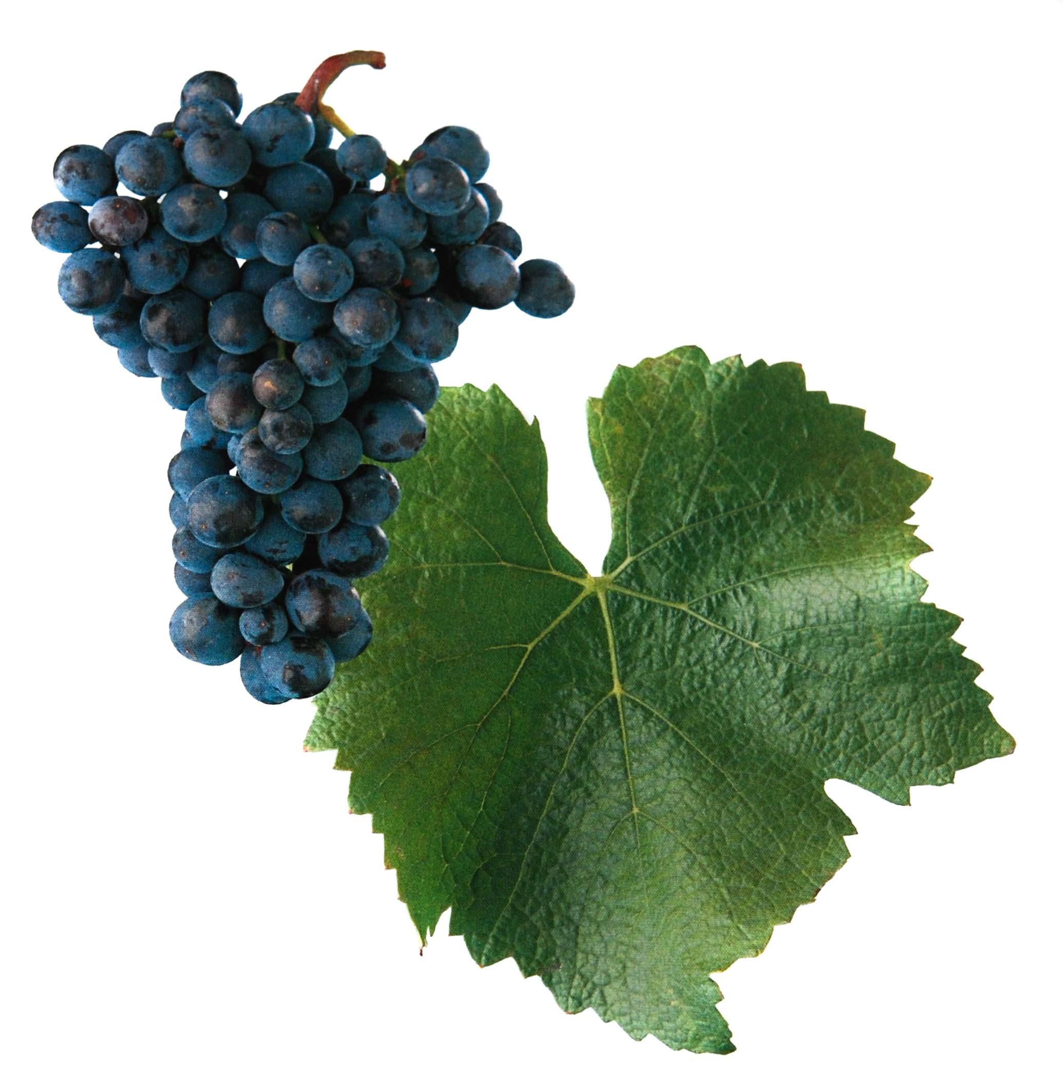 Rulandské modré rosé víno hrozen a list