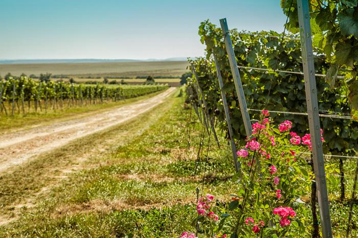 Znovín vinohrad