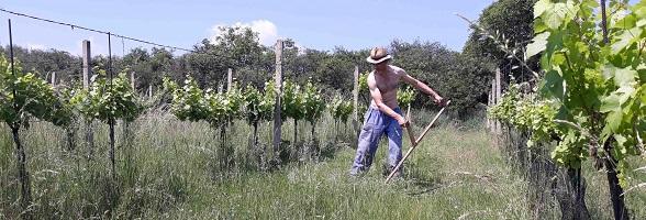 Vína Loigi vznikají ve vinohradu, který se seká kosou