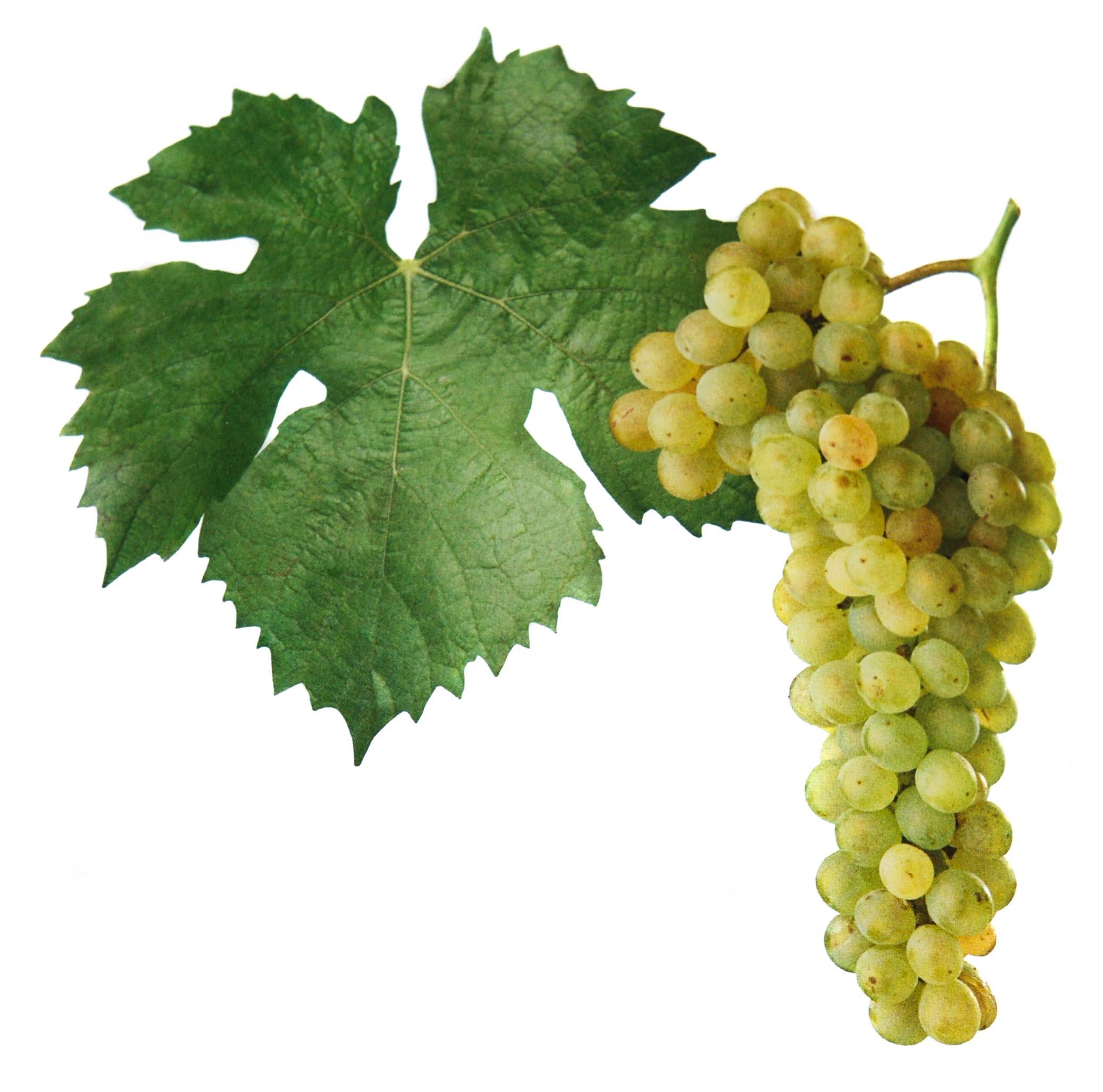 Müller Thurgau víno hrozen a list