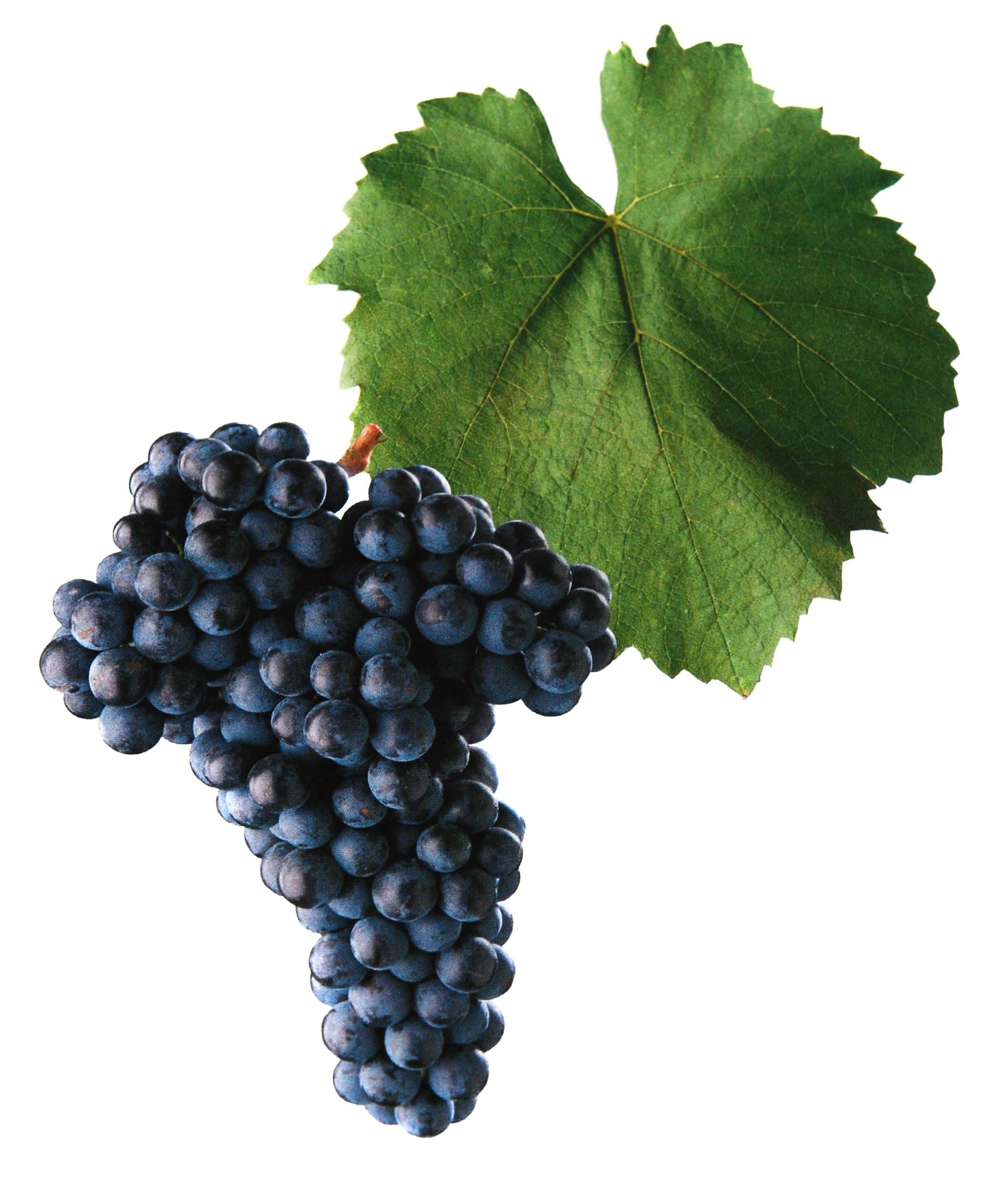 Frankovka víno hrozen a list