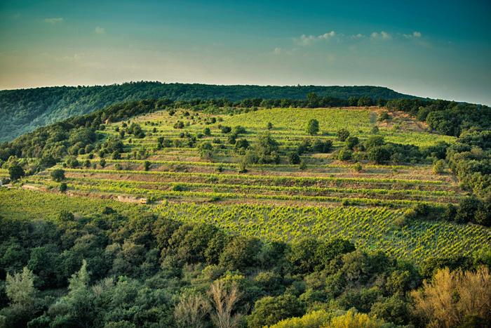 Znovín vinice ŠOBES
