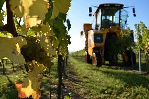 Hrozny na vína Lahofer - pozdní sběr