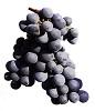 Blauburger víno - hrozen