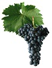 Modrý Portugal víno - hrozen