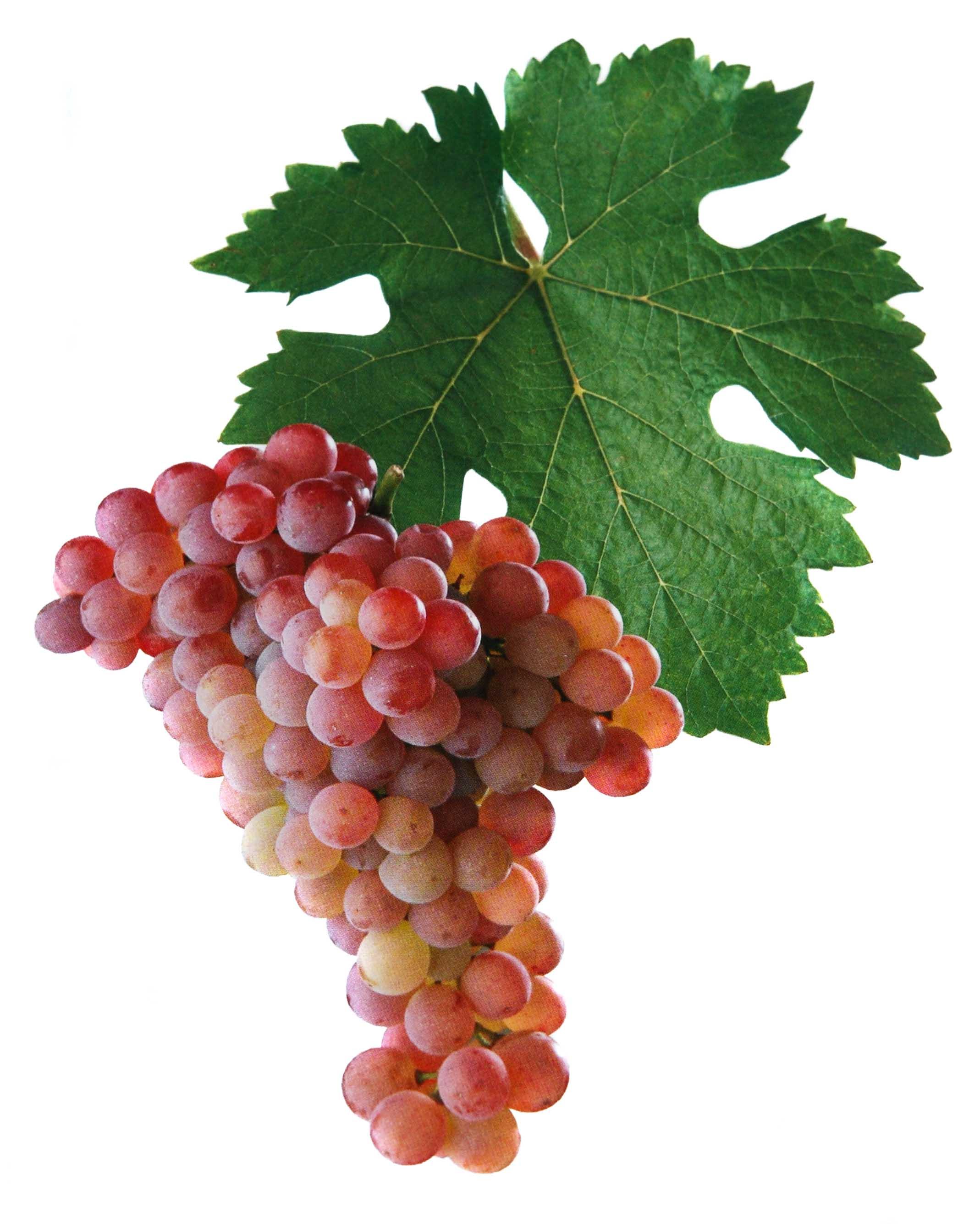 Veltlínské červené rané víno hrozen a list
