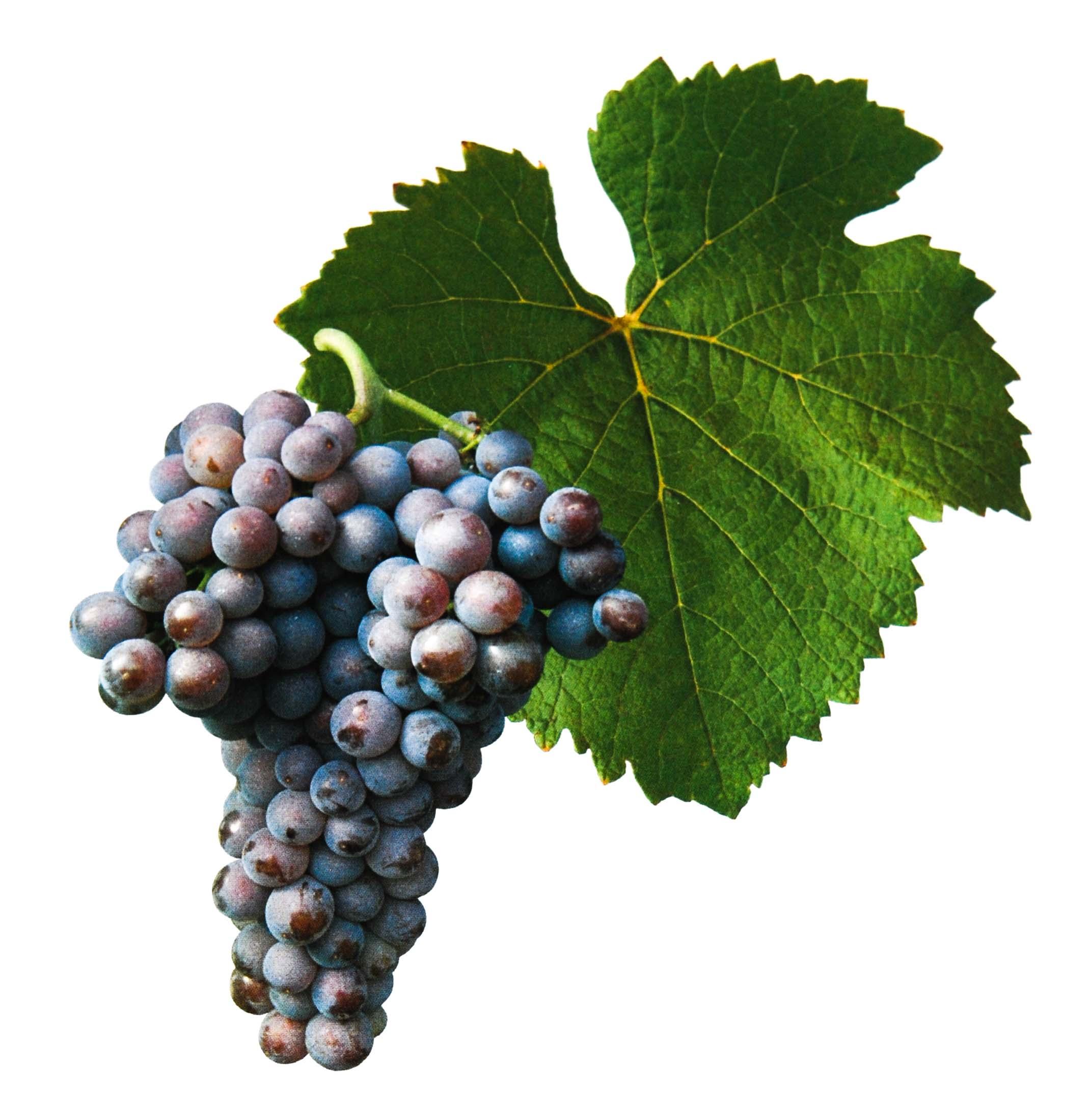 Rulandské šedé víno hrozen a list