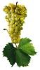 Víno Muškát Moravský - hrozen