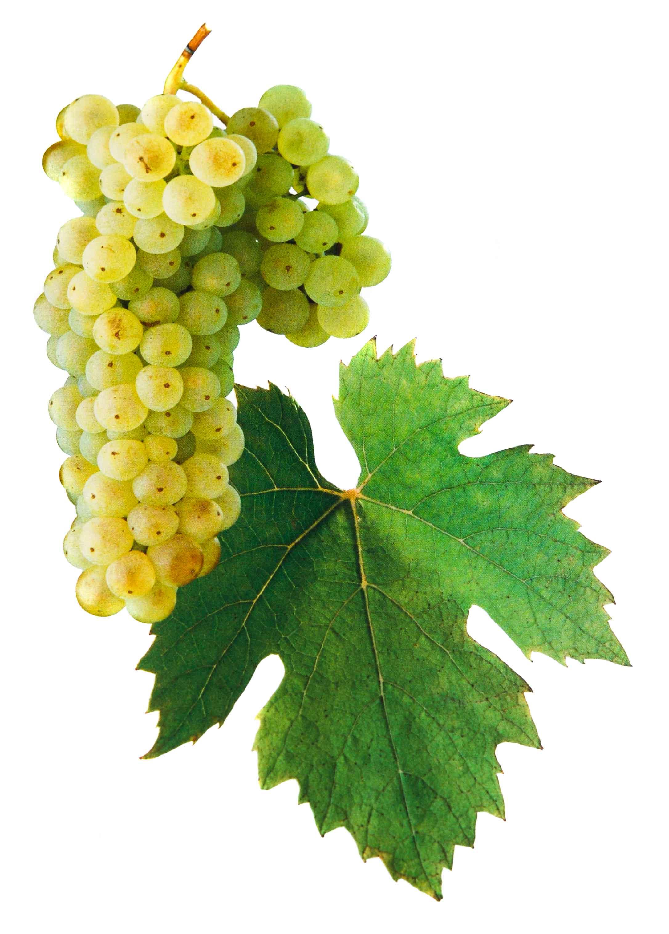 Ryzlink vlašský víno hrozen a list